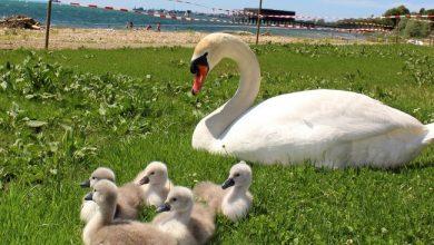 """Photo of """"Schwanen-Familie"""" zu Besuch im neuen Lochauer Strandbad"""
