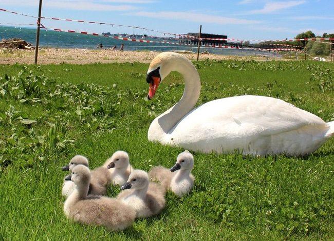 Schwanen-Familie im Lochauer Strandbad