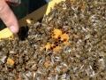 Tag des Bienenstocks 2017 (5)
